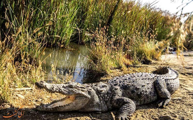 هر آنچه که باید راجع به گاندو، تمساح ایرانی بدانید!