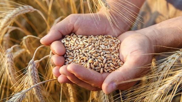 تصویب 163میلیارد و 800 میلیون تومان برای خرید گندم بذری